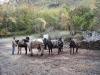 mules-italy-november-2007