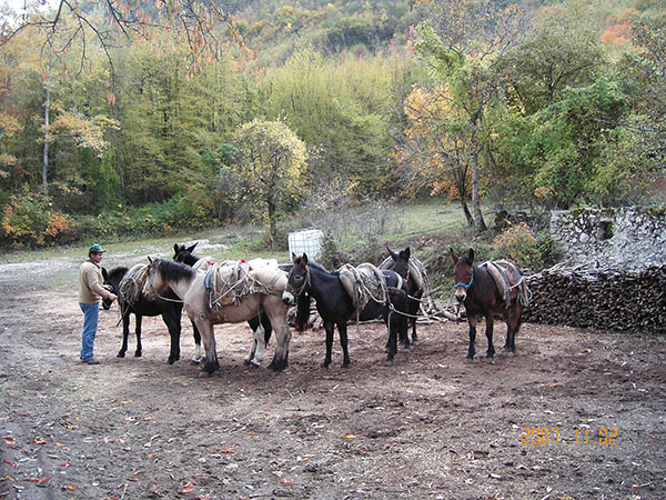 Mules Carrying Logs Down the Mountain